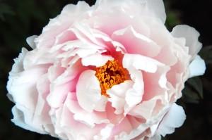 写真部活動報告 春のぼたん祭 @上野東照宮ぼたん苑
